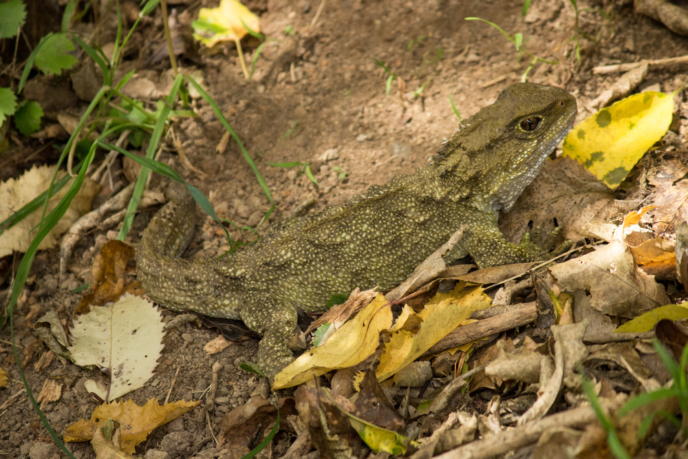 Tuatara in the sun. Zealandia.
