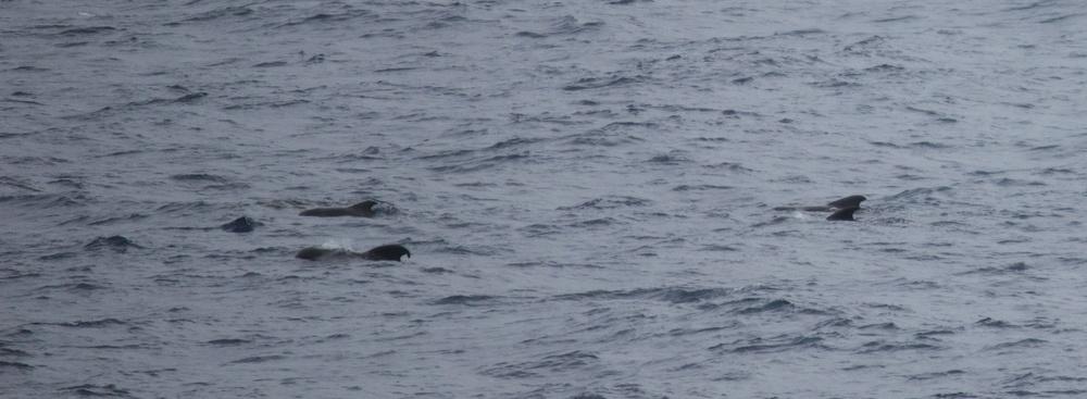 Pilot whale pod. Victoria coast, Australia.