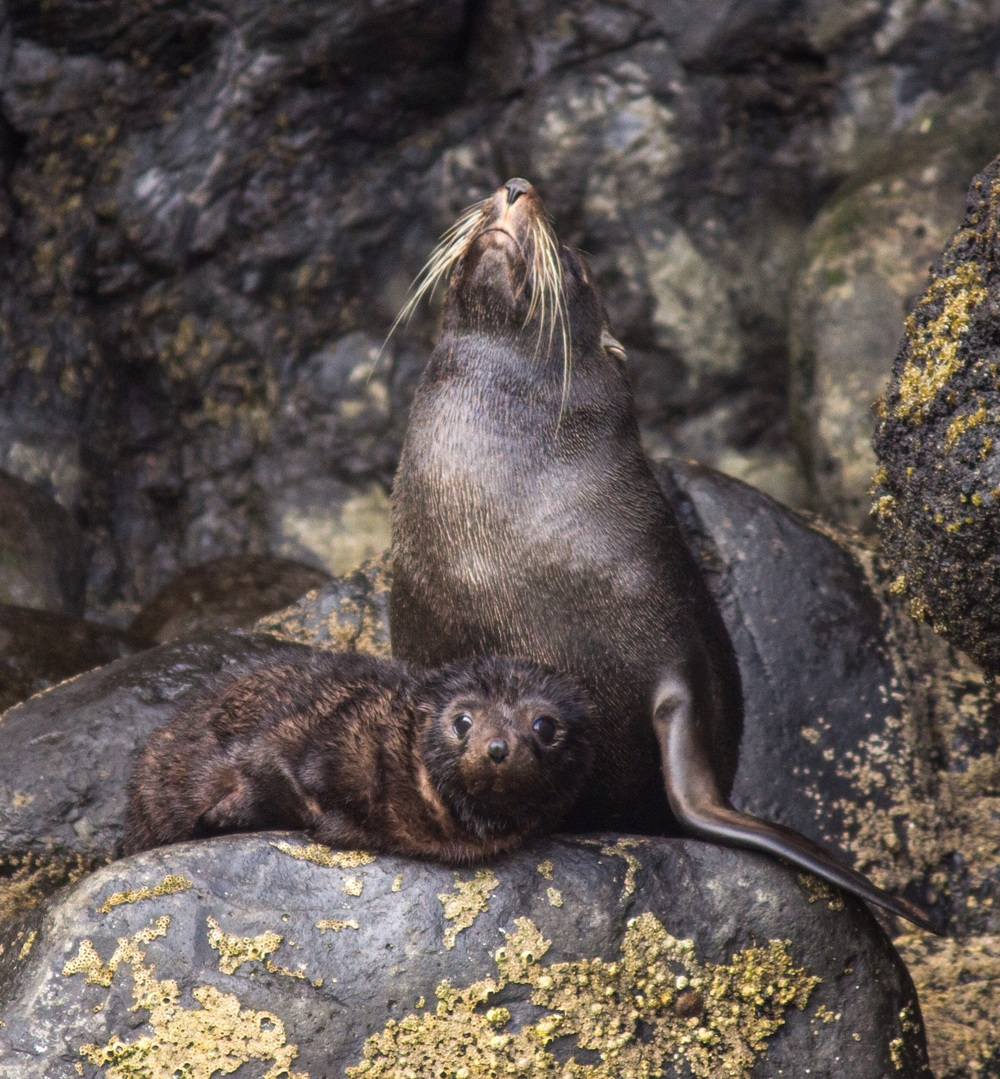 NZ Fur Seal pup not quite ready to venture beyond the safety of mum. Akaroa, New Zealand.