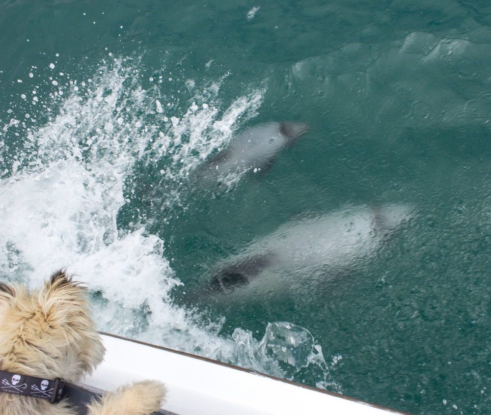 Sea shepherds come in all shapes and sizes. Akaroa, New Zealand.