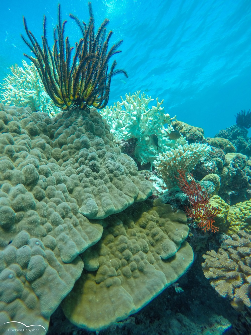 Low-profile coral colony. Lifou, New Caledonia.