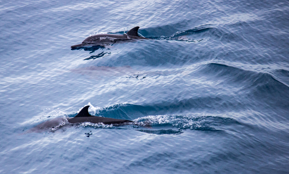 Resident Spinner dolphins. Big Island, Hawaii.