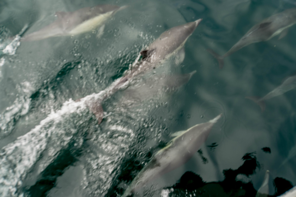 Common dolphin send off. Santa Barbara Channel, CA.