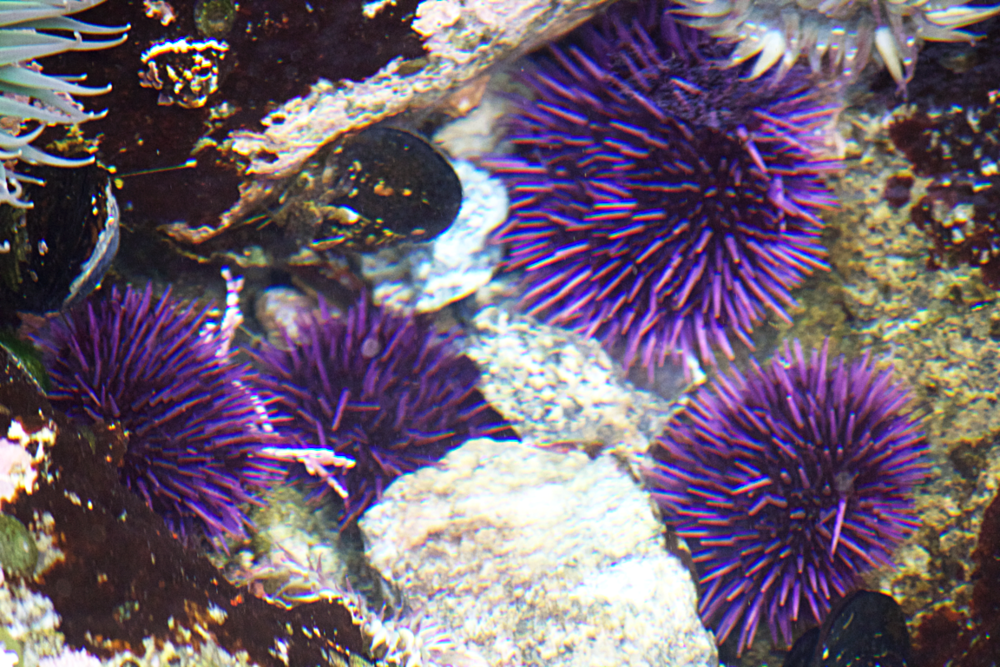 Purple sea urchins in the kelp understory. Monterey, CA.