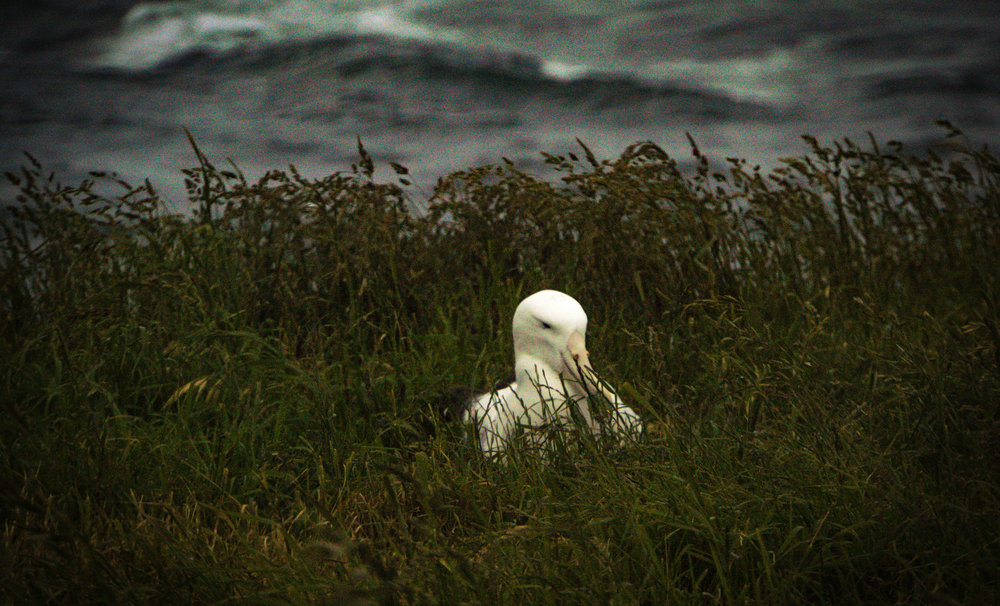 Northern Royal Albatross, nesting in its place of refuge. Taiaroa Head, New Zealand.