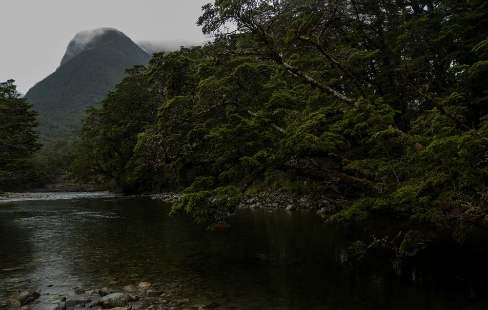 Misty beech forest. Grebe River, NZ.