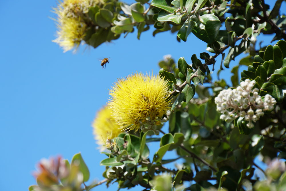 Native plants like this Ohia tree survive with the help of insect pollinators. Oahu, Hawaii.