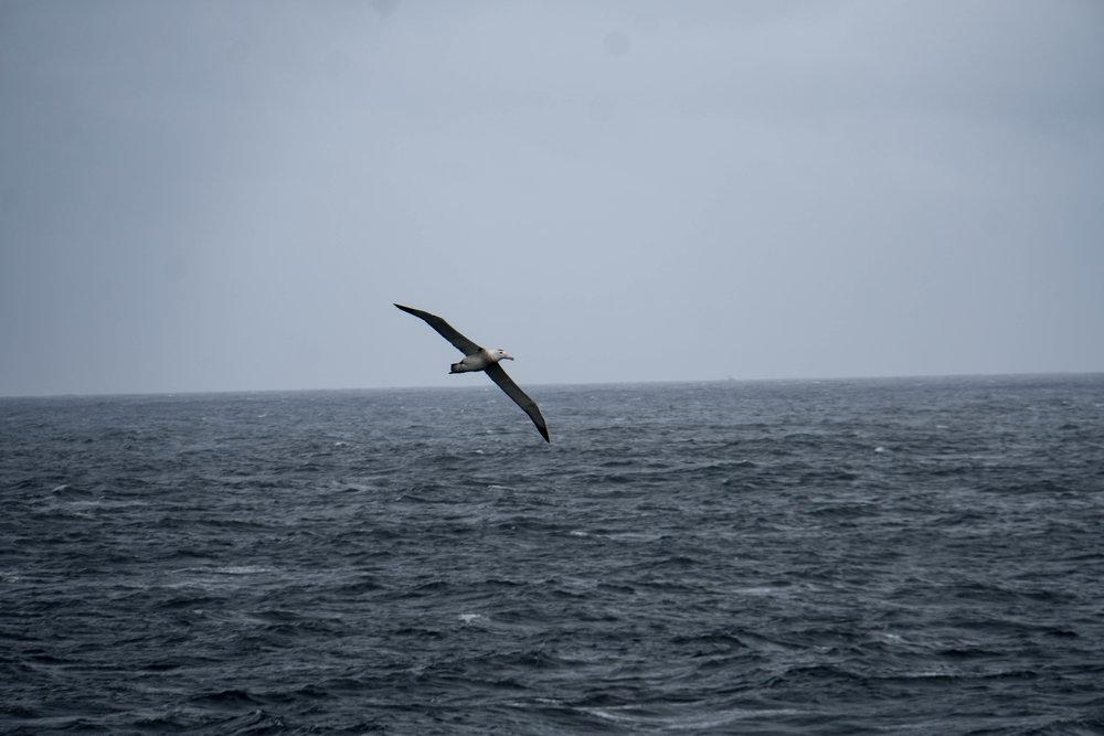 Wandering albatross. Estrecho Nelson.