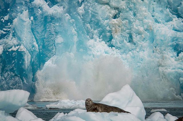 More comfortable with its back to the thundering cascade of ice from the face of South Sawyer glacier into the tidal waters of Tracy Arm, this harbor seal never took its eyes off the drifting zodiac full of curious observers from the National Geographic Sea Lion. 😲 #glacier #calving #harborseal #southeast #alaska #wilderness #wildlife #nature #upclose #naturalist #wow @lindbladexp