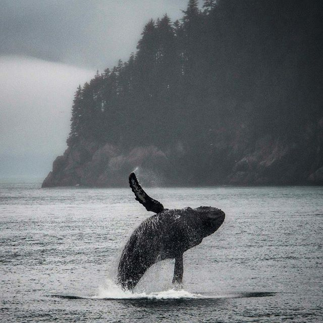 We had a whale of a time onboard the National Geographic Sea Lion's last Southeast Alaska sailing; even the wildlife seemed to be out in full force to finish off an incredible season of exploring its coastal wilderness with a bang! 🙌🐋 @lindbladexp #humpback #whale #breach #southeast #alaska #wildlife #nature #explore #summer #natgeo #expeditions #grandfinale #tilnexttime