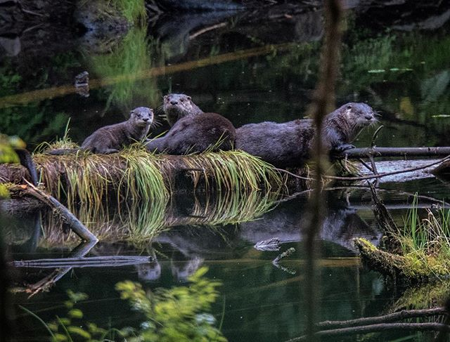 River otters are selective in their habitat choices, opting for protected access to pristine waters with good fishing opportunities. While exploring a remote corner of Baranof Island last week, this romp was a good indication of a healthy old growth forest that provides just such a place. #southeast #alaska #wildlife #wednesday #river #otters #lakeeva #tongass #temperate #rainforest #hiking @lindbladexp