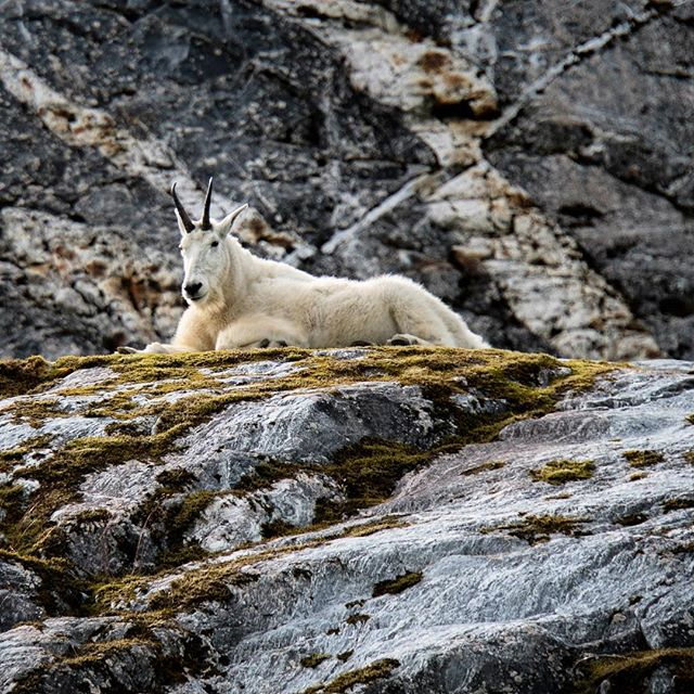 Few things complement the complex raw geology of Southeast Alaska's fiords like the only mammal that can look this comfortable on even their most exposed walls. #mountain #goat #southeast #alaska #glacial #geology #nature #wildlife #wilderness #fridaymood #natgeo #expeditions  @lindbladexp