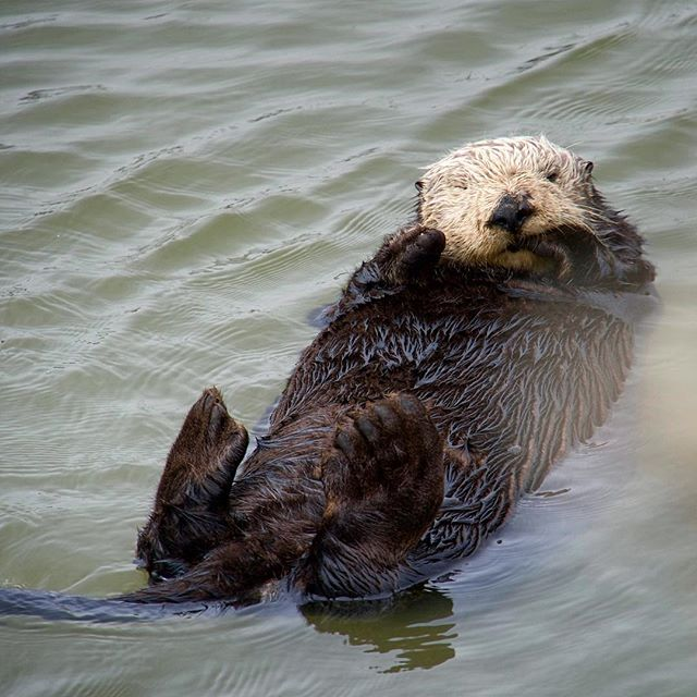 Acclimatizing to Fall weather and this ocean of academia I've immersed myself in has been a little rough at times, but I'm managing to stay afloat! #imstillcoldthough #tgif #stressedout #seaotter #inspiration #justkeepfloating #wildlife #socialmediahiatus #imstillhere 👋🤓🤯😱