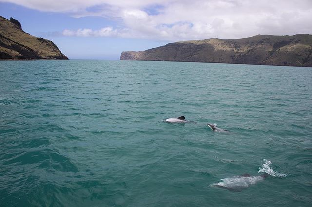 From this shot of my first look at Akaroa harbor onboard @coastupclose nearly five years ago to this clip from yesterday's trip, I'm continually captivated by this place of curious endemic  NZ marine creatures amidst a stupendous ancient volcanic backdrop! 🙌😍🐬🐦 Always a fantastic time on the water with Captain Tony! Cheers to another year of both new and familiar wildlife encounters on the ever-inspiring ocean. #happynewyear #akaroa #bankspeninsula #ocean #hectorsdolphins #newzealand #marinemammals #naturalist