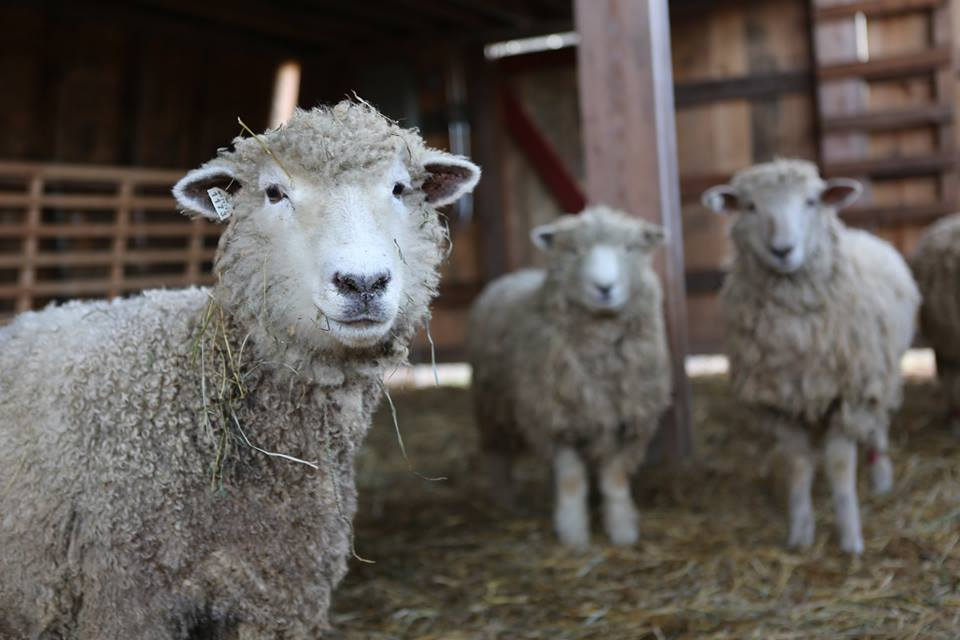 PFAR sheep