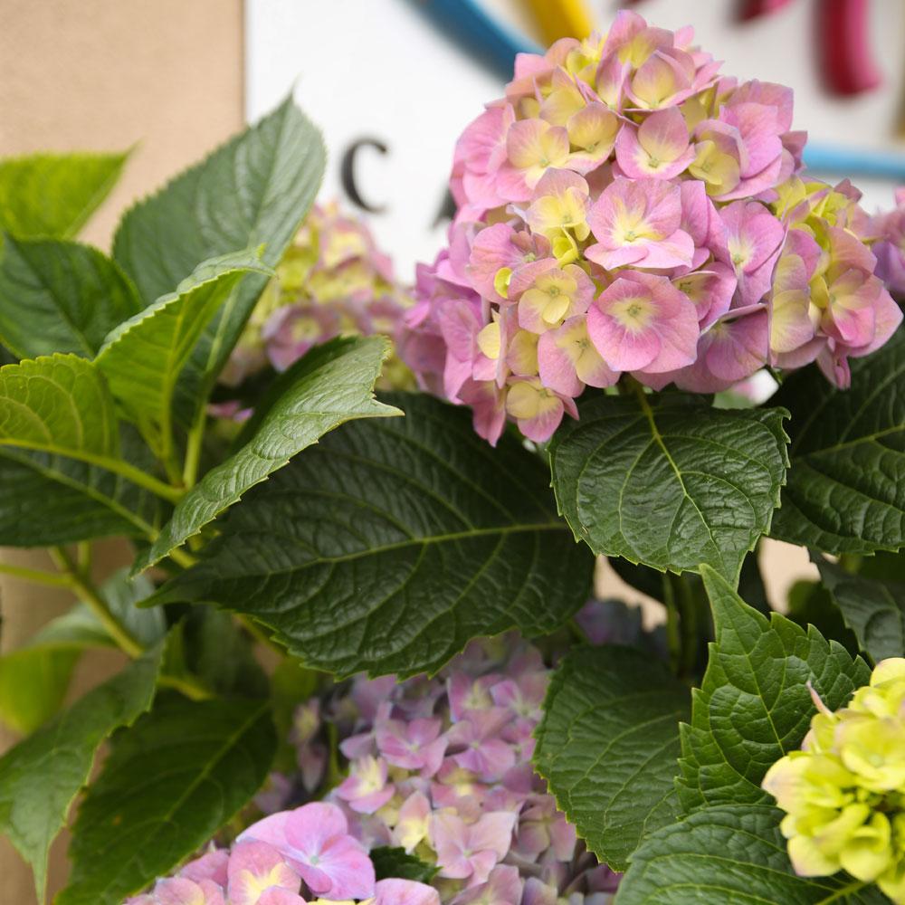 Hydrangeas Outside French Farmhouse - Riviera Village