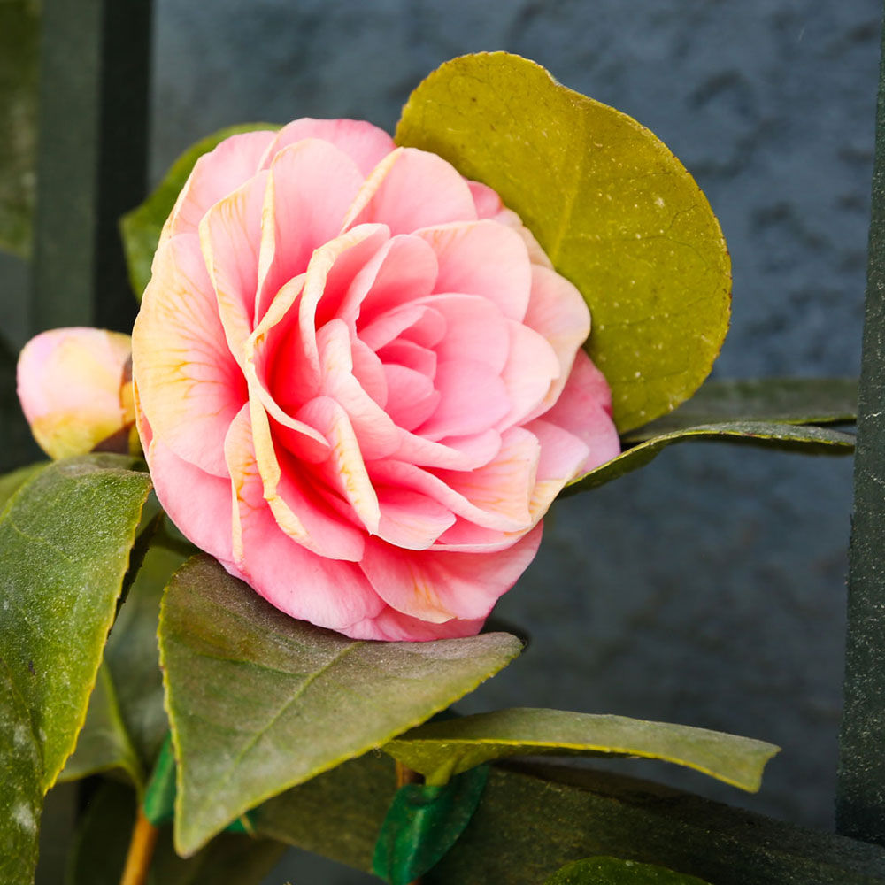 Camellia In Bloom - Redondo Beach