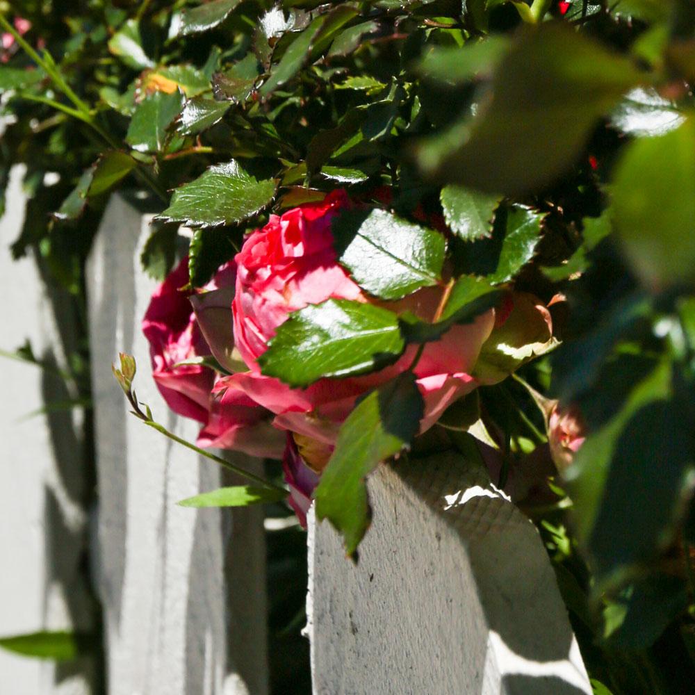 Roses In Lomita Garden