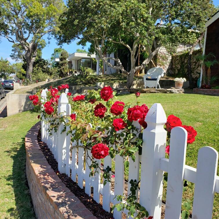 Red Roses, White Fence - Paseo De Granada