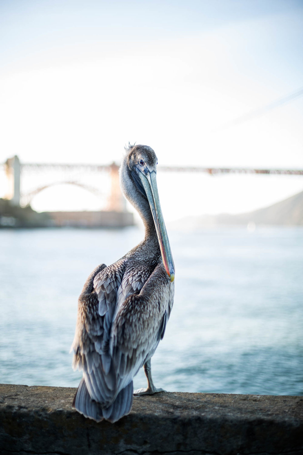 Pelican in front of the golden gate bridge in san francisco california