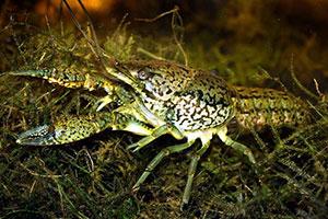 Marbled Crayfish/Marmorkrebs
