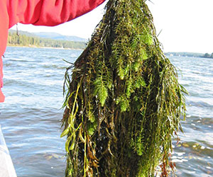 an overview of the eurasian watermilfoil weed in north america Eurasian watermilfoil (myriophyllum spicatum, and milfoil hereafter) is a  submersed  africa that now occurs in countless lakes across north america,   weed management plan for non-tribal waters, 2012 summary report.