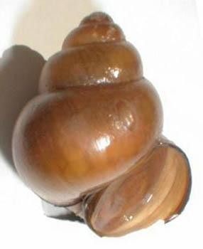 Japanese Mystery Snail