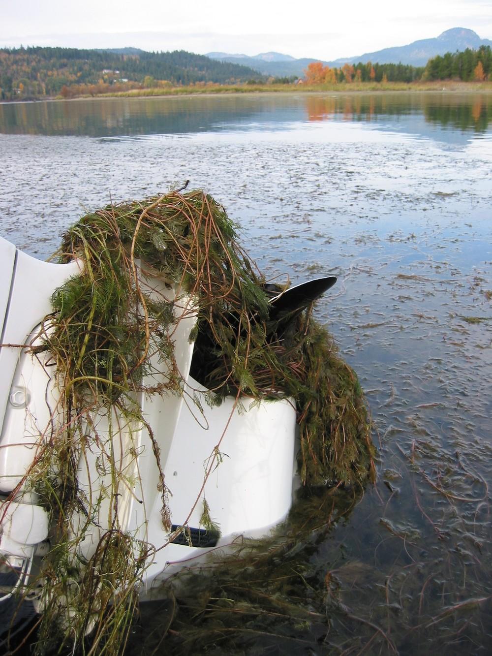 Eurasian watermilfoil