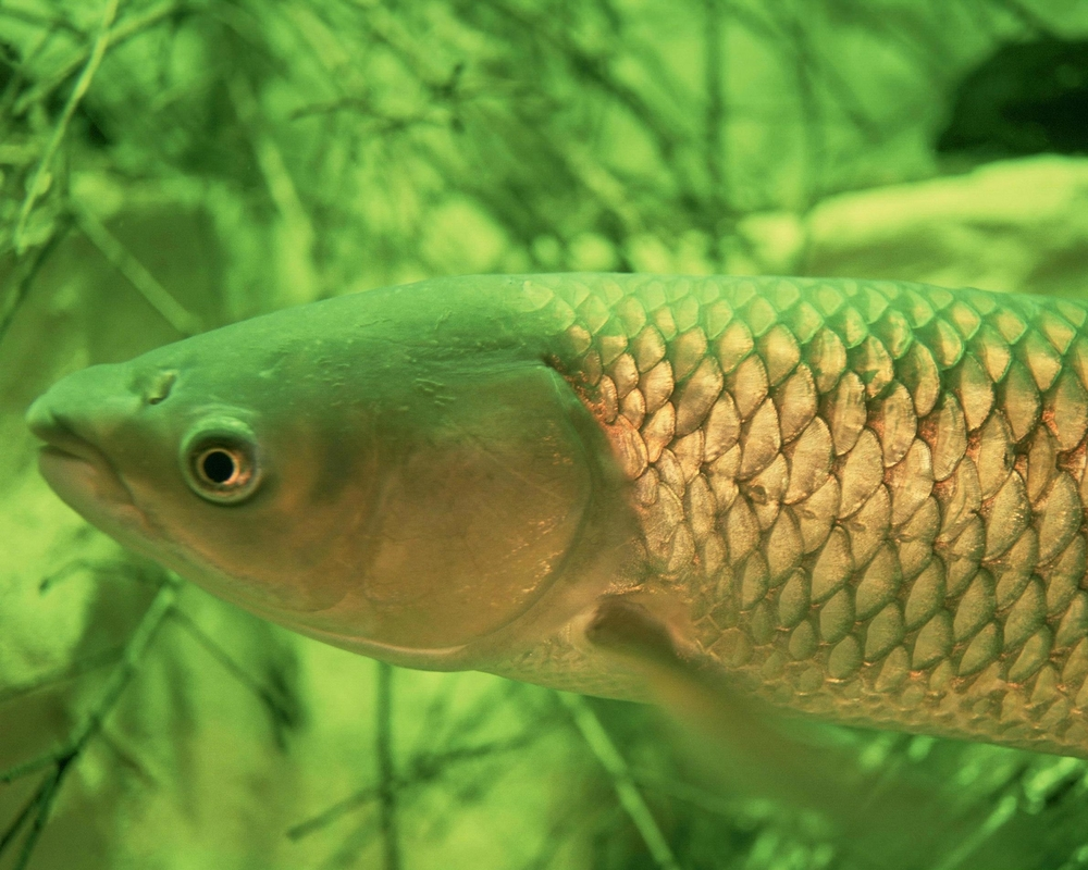 Diploid Grass Carp