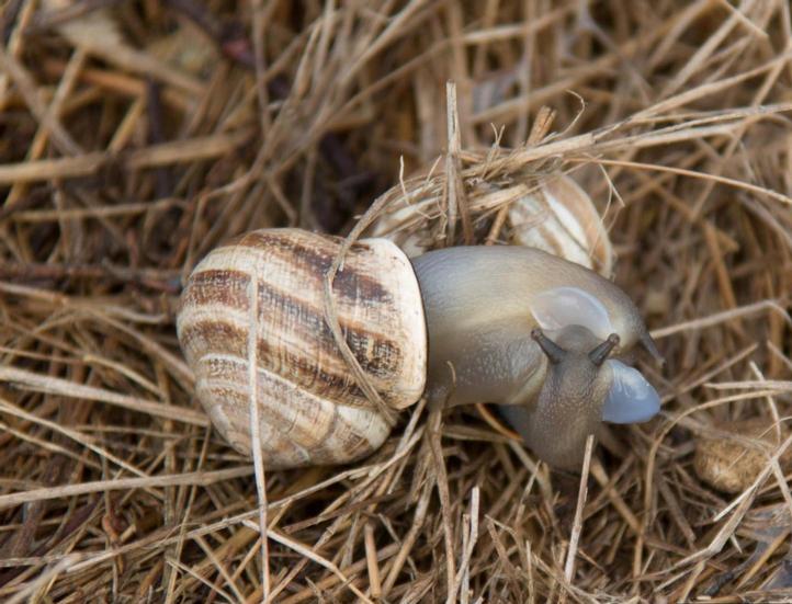 Lactea Snail