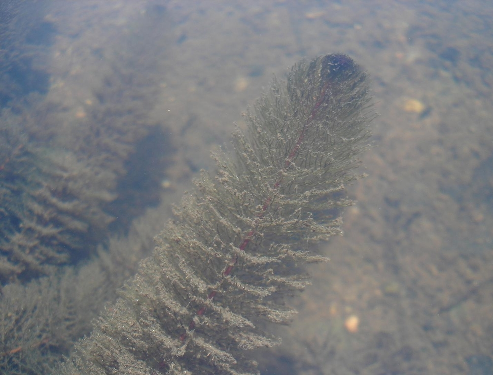 Variable-Leaf-Milfoil