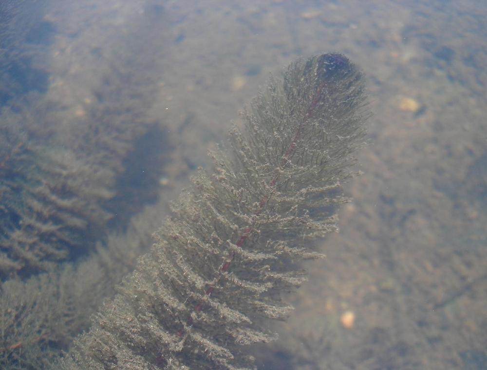 Variable-Leaf-Milfoil