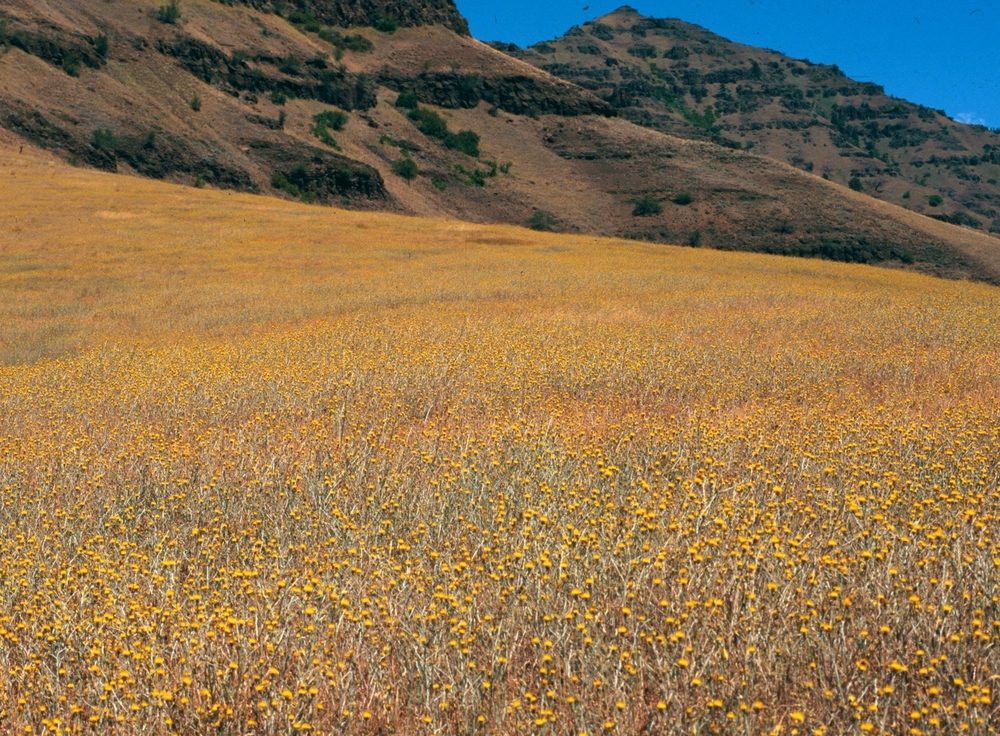 Yellow starthistle monoculture.