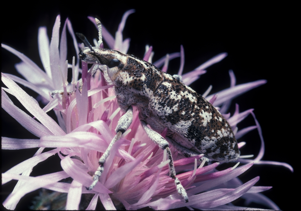 Cyphocleonus achates on spotted knapweed