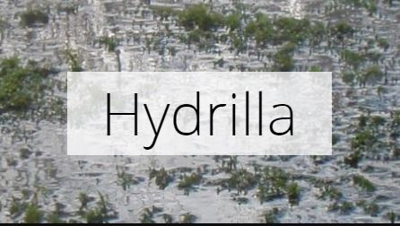 Bruneau River Hydrilla Program