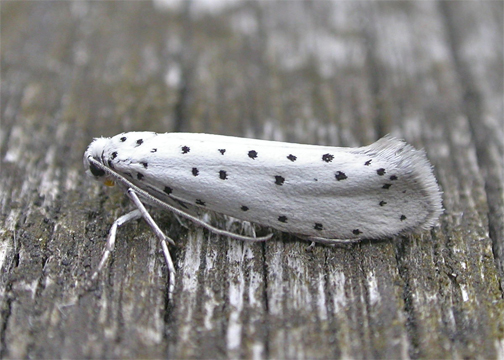 Apple Ermine Moth