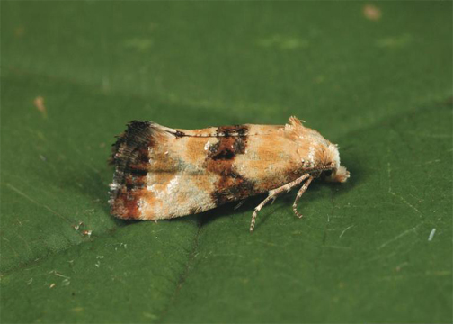 European Grape Berry Moth