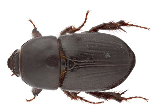 Black Maize Beetle