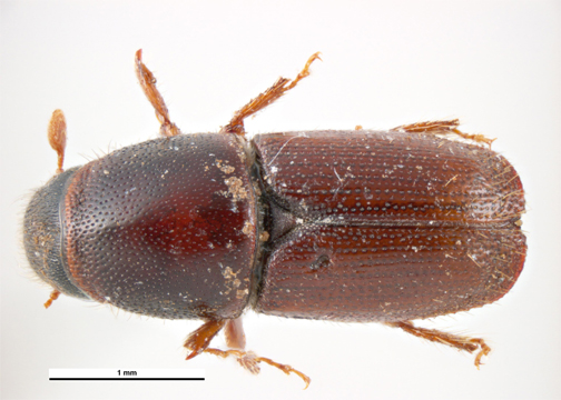 European Elm Bark Beetle