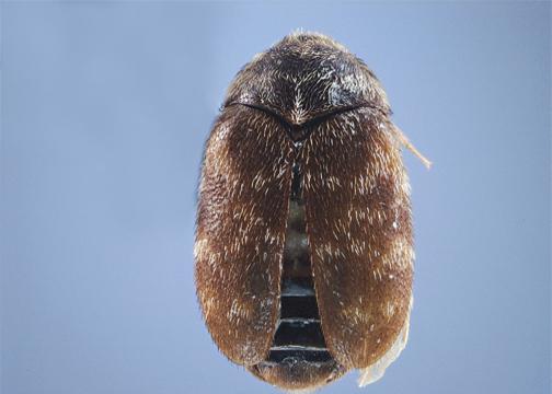 Kaphra beetle