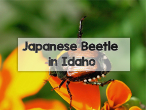 Boise Japanese Beetle Program