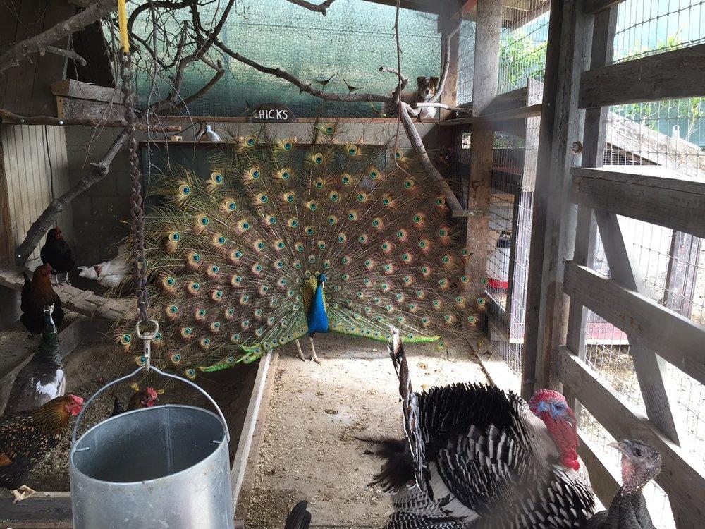034 Chickens.- 5957 Cavalleri.jpg