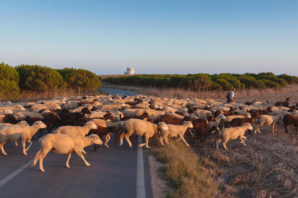 travel-photography-portugal-sheep.jpg