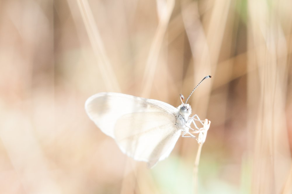 butterfly white.jpg
