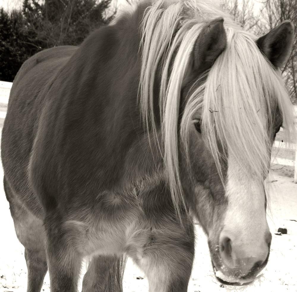 Vanessa, 1998 Haflinger mare - always inquisitive.JPG