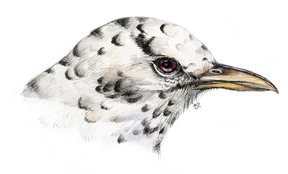 Albino Robin, drawn from the archives of the Peabody Museum ornithology collection