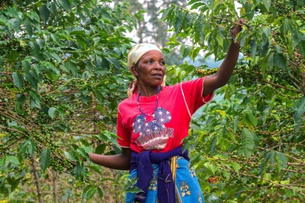 Agriculture amounts to 90 percent of Rwandan livelihoods, with about 500,000 smallholder farmers growing coffee.