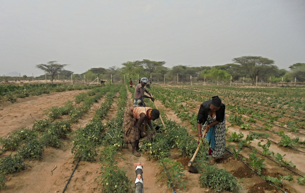 Photo: Achukule members weeding their crops in Lokichar, Turkana county Kenya in February 2016.