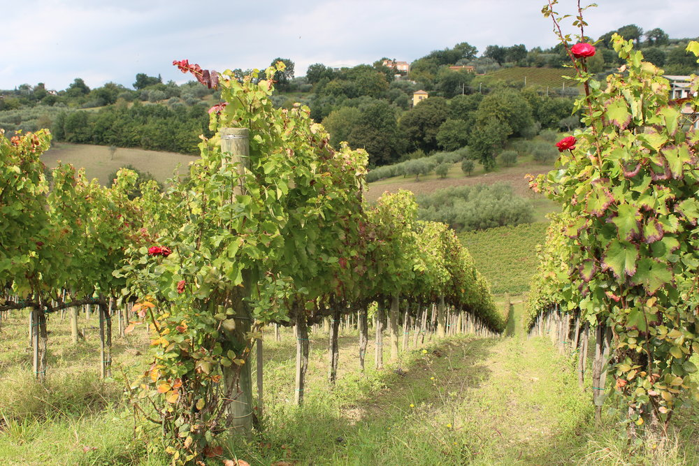 Vines at Quintodecimo, the vineyard of master winemaker and professor Luigi Moio in Mirabella Eclano