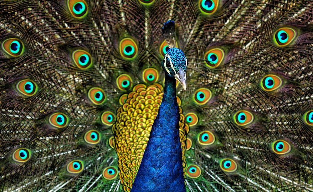 RANDOM ANIMAL FACT - Only the males are called peacocks. Females are called peahens.